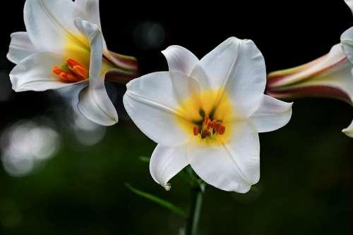 David-Lily Lily White Flowers Lilium Davidii Plant