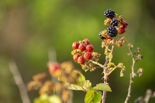 Dawn Rocio Blackberries Nature Plant Landscape