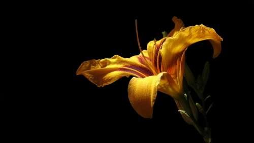 Daylily Blossom Bloom Flower Hemerocallis Bonanza
