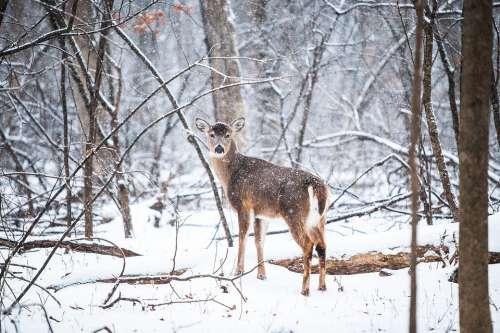 Deer Snow Wildlife Animal Mammal Outdoors Nature