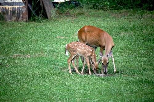Deer Fawn Doe Grass Nature Animal Wildlife