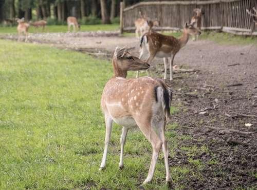 Deer Nature Forest Mammal Cute Gentle Bambi