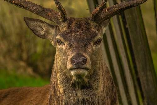 Deer Animal Richmond Animal Portrait Stag Mammal