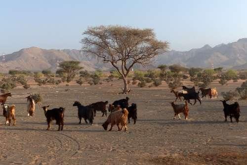 Desert Goat Oman Goats Animals Livestock