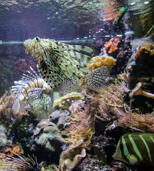 Devil Fish Aquarium Sea Ocean Sea Fish Coral