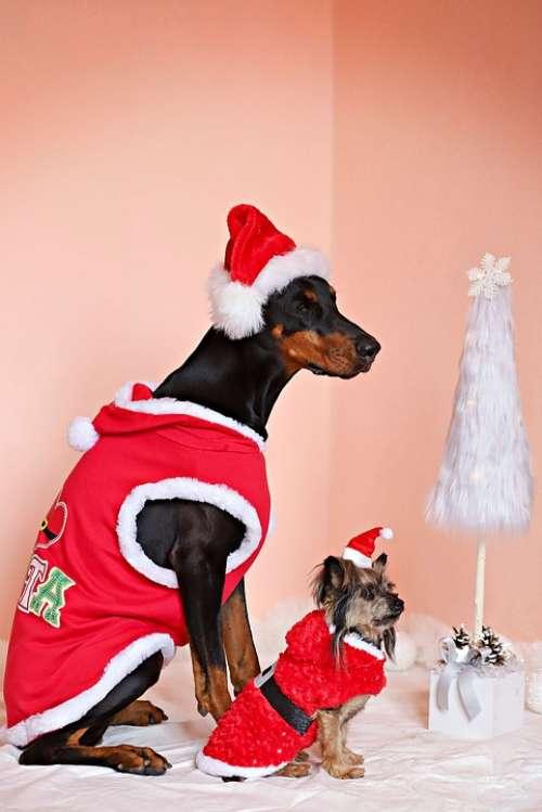 Doberman Yorkshire Terrier Dogs Santas Christmas