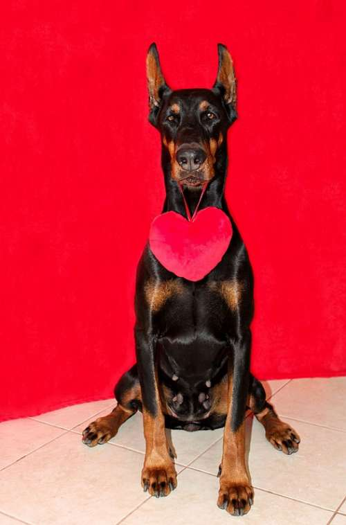 Doberman Dog Heart Red
