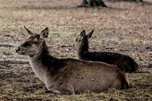 Doe A Female Deer Poland Demonstration Reserve