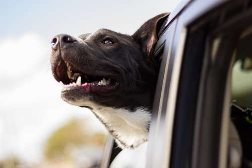 Dog Happy Car Head Car Window Happy Dog Pet