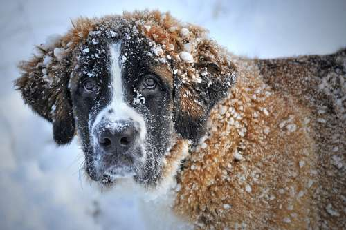 Dog Snow St Bernard Dog Winter Pet Animal Fur