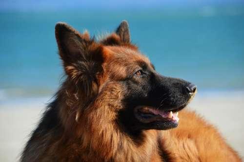 Dog Beach Sand Canine German Shepherd Long Hair