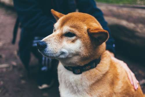 Dog Canine Pet Face Collar Animal Domestic Doggy