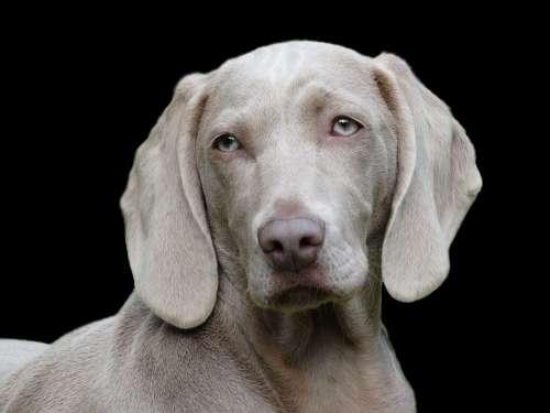 Dog Weimaraner Pet Canine Portrait