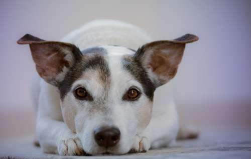 Dog Pet Animal Doggy Sweet Cute Eyes Canine