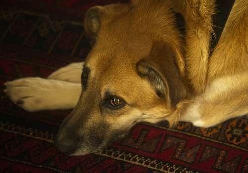 Dog Portrait Rest Brown