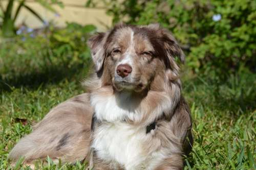 Dog Aussie Australian Shepherd Puppy Pet Animal