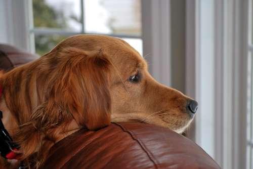 Dog Golden Retriever Pet Watching Waiting