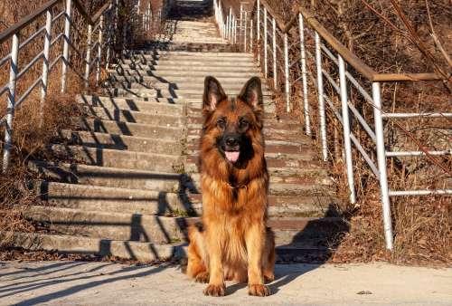 Dog German Shepherd Shepherd Each Animal Portrait