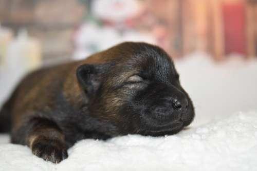 Dog Puppy Eurasier Puppy New Born Canine