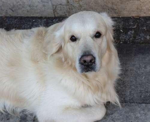 Dog Eb Golden Retriever Pets Animal Loyalty Cute