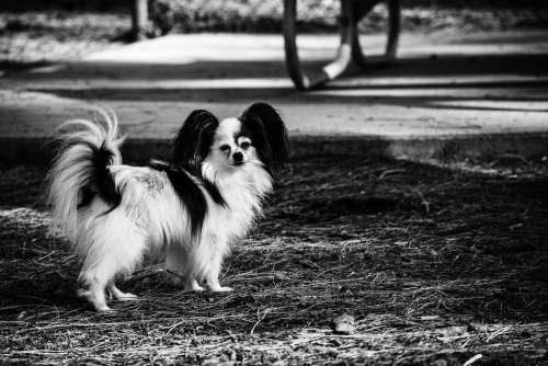 Dog Papillon Park Pet Retro