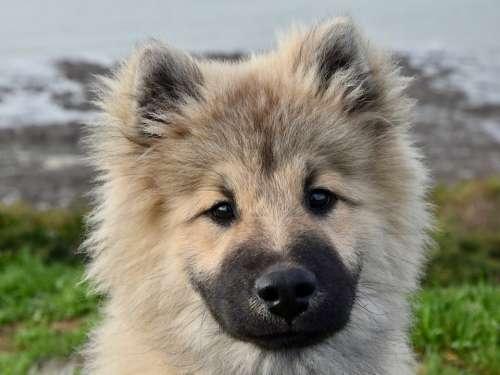 Dog Dog Eurasier Pup Puppy Dog Olaf Blue