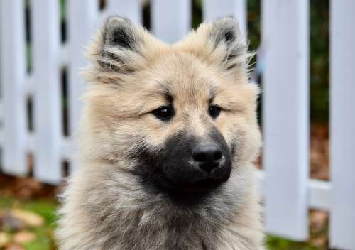 Dog Pup Puppy Young Dog Olaf Dog Eurasier
