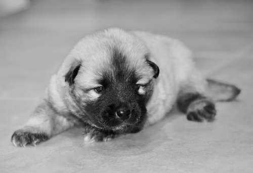 Dog Puppy Photo Black White Puppy Eurasier Puppy
