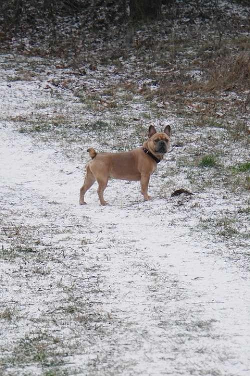 Dog Snow Purebred Dog Waiting Good Winter Nature