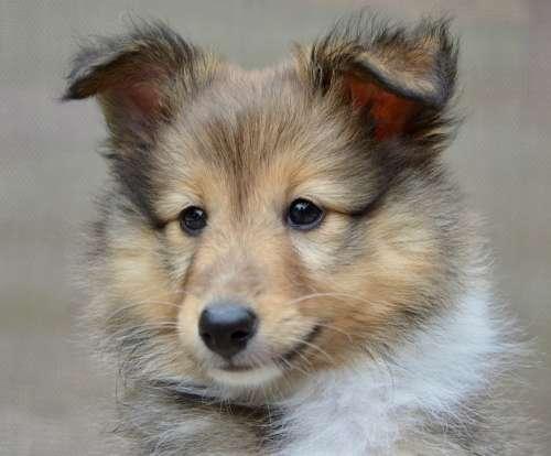 Dog Dog Shetland Sheepdog Pup Puppy Dog Toby