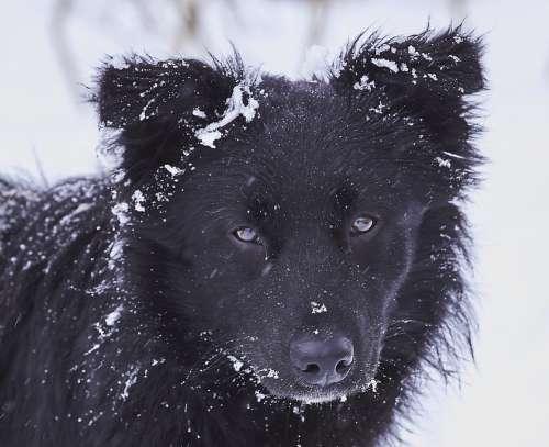 Dog Snow Black White In Winter Portrait Eyes Fur