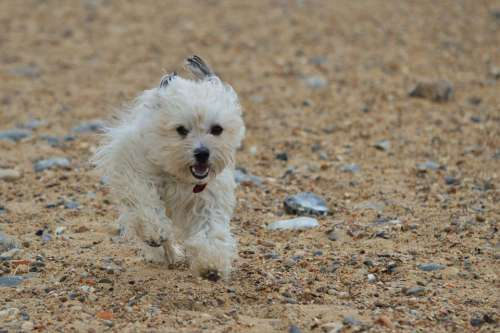 Dog Canine Running Trained Mammal Animal Pet