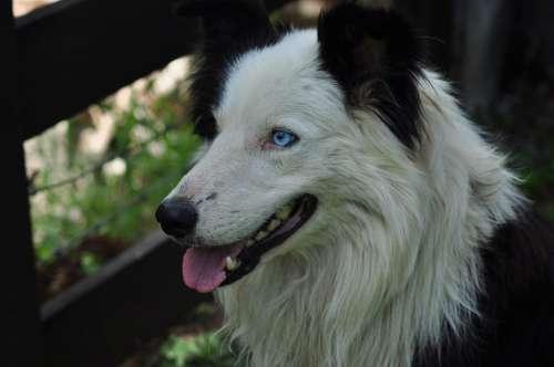 Dog Animal Puppy Border-Collie