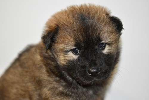 Dog Bitch Pup Puppy Dog Eurasier Bitch Patchouline
