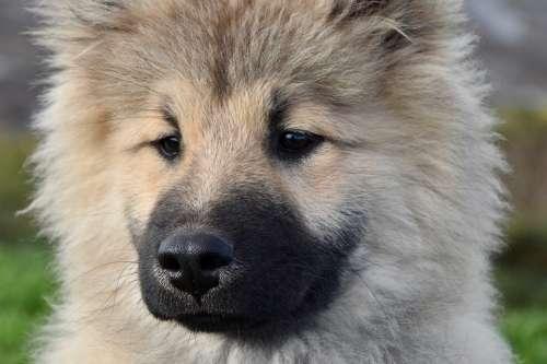 Dog Pup Portrait Of Dog Eurasier Eurasier