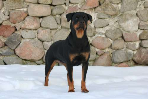 Dog Rottweiler Snow Background The Stones Winter