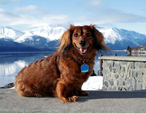 Dog Dachshund King Alaska Animal Pet Cute Canine