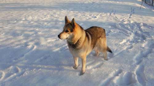 Dog Wolf On Snow