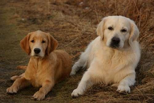 Dog Retriever Golden Retriever Fur Pet