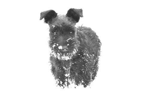 Dog Snow Schnauzer