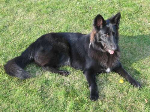 Dog Black Schäfer Dog Belgian Shepherd Dog