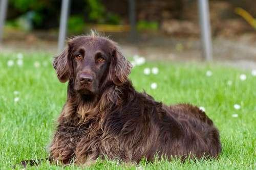 Dog Animal Pet German Longhaired Pointer View Eyes