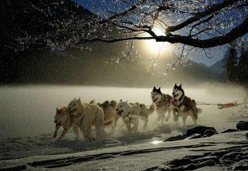 Dogs Huskies Animal Dog Racing Winter Wintry