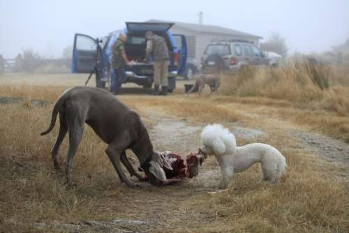Dogs Hunting Carcass Hunting Dogs Carnivore