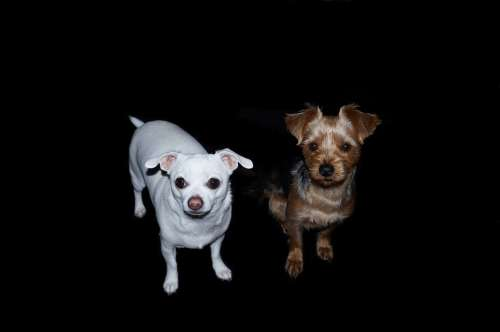 Dogs Yorkshire Terrier Chihuahua