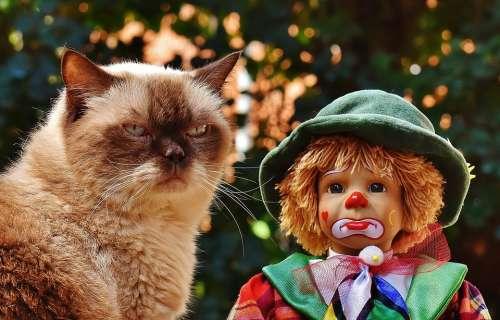 Doll Clown Sad Cat British Shorthair Race Cute