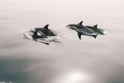 Dolphins Water Smooth Calm Ocean Sea Mammal