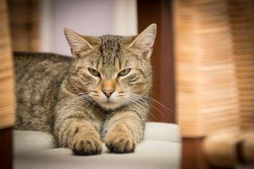 Domestic Cat Cat Pet Animal
