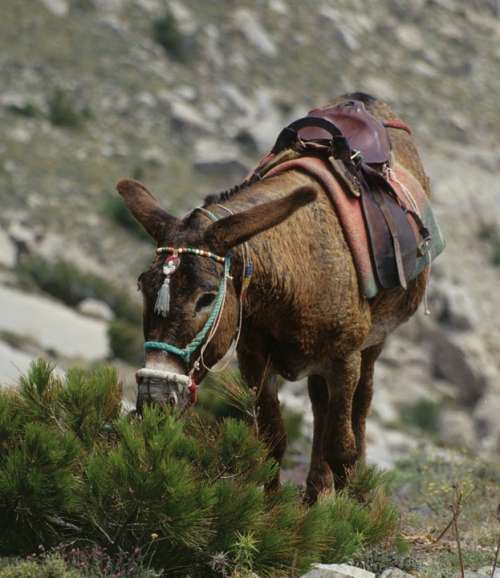 Donkey Mule Greece Animal