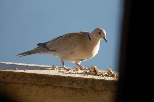 Dove Birds Doves